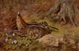 Archibald Thorburn Bird Prints and Game Birds and Shooting Pictures
