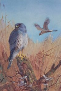 Archibald Thorburn prints Montagu Harrier