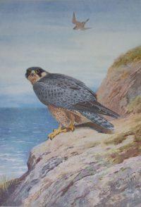 Archibald Thorburn prints Peregrine Falcon
