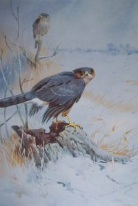 Archibald Thorburn Prints Sparrow Hawk