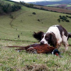 Excellent Pheasant Shooting, Black Grouse and Retrieving photography
