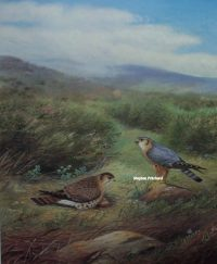 Richard Robjent A pair of Merlins at their nest original pencil signed print