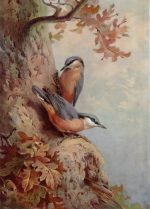 Archibald Thorburn Bird print Nuthatches